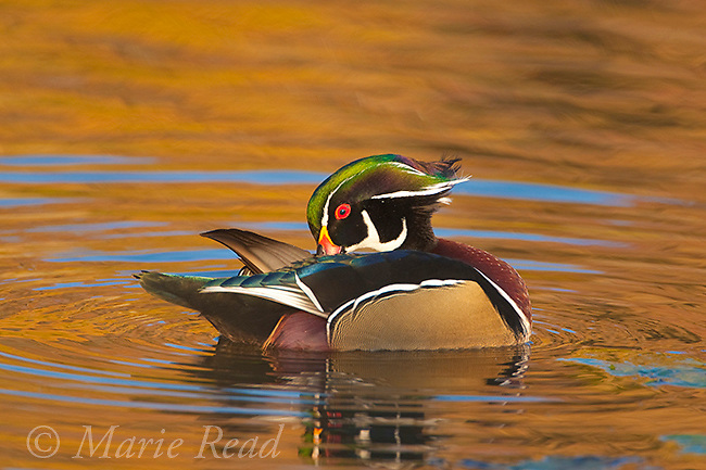 Wood Duck (Aix sponsa), male preening while floating on water, fall foliage reflection, Ohio, USA