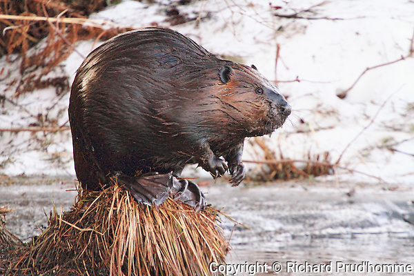 An adult beaver sitting on top of a lump of dried grass on the edge of a wetland in early spring,