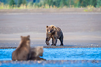 "Bears are usually very good mothers.  They exert a lot of mental, physical and emotional energy to sustain and protect their cubs.  Salmon run involves a heightened sense of urgency.  Mom needs to keep her cubs safe and keep them fed, as well as taking care of herself, to ensure that the whole family gains sufficient fat reserves to last over the long winter hibernation.  This mom was an excellent fisher.  She caught dozens of salmon during our stay, and shared ""most"" of them with her cubs.  Her cubs looked healthy (i.e., fat!) so hope they have a healthy hibernation."