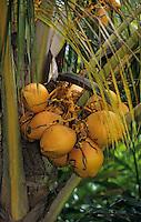 "Océanie/Australie/Queensland/Env. de Mossman: Noix de coco au ""Botanical Ark"""