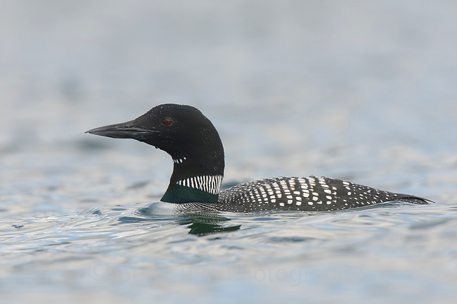 Adult Common Loon (Gavia immer) in breeding plumage. Island County, Washington. April.