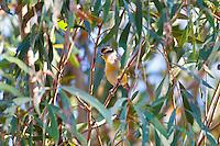 Striated Pardalote, Katherine, NT, Australia