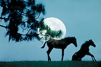 Two Thoroughbred foals on a rise silhouetted by full moon. horse, horses, animals, special effects, photo montage.
