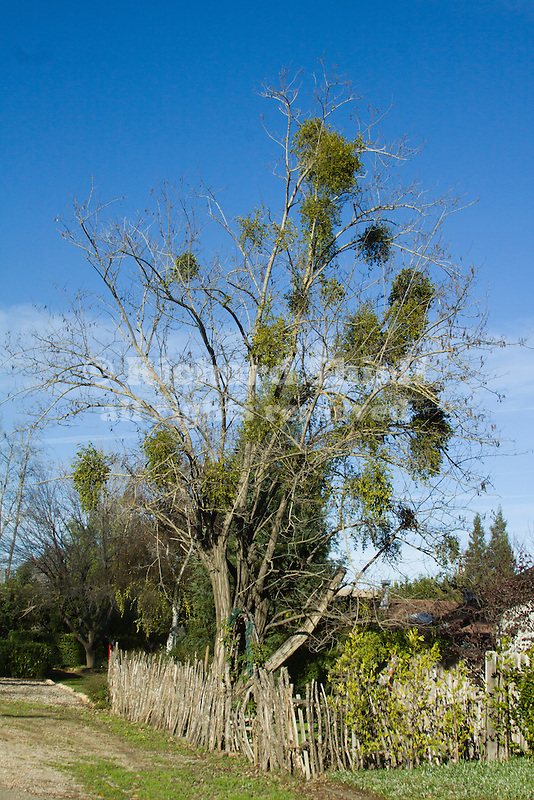 PHORADENDRON VILLOSUM, HAIRY MISTLETOE, PACIFIC MISTLETOE, OR OAK MISTLETOE