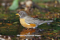 01382-04104 American Robin (Turdis migratorius) bathing, Tower Grove Park, St. Louis  MO