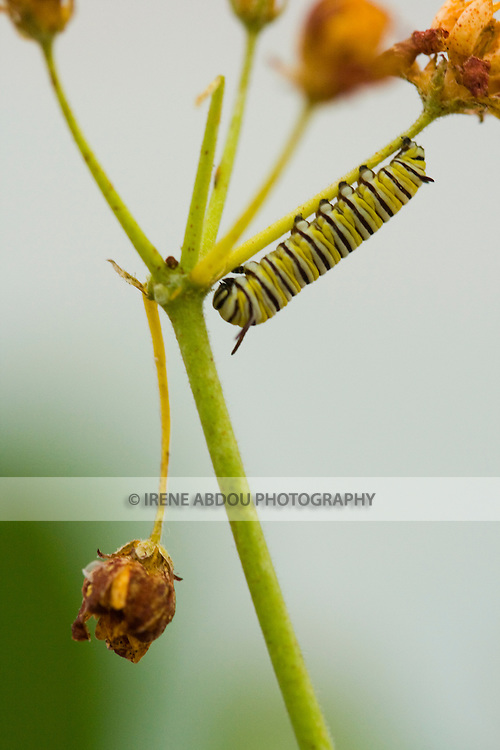 """A butterfly caterpillar climbs a plant in Brookside Gardens' annual """"Wings of Fancy"""" exhibit in Silver Spring, Maryland."""