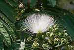 Mimosa_tree_ Flower 07252016