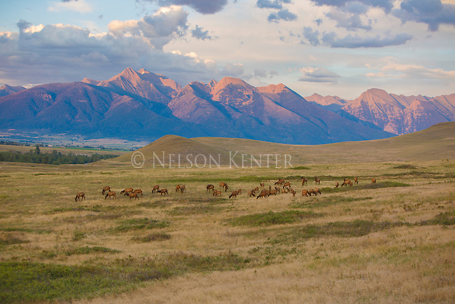 a herd of elk and the mission mountains in western montana