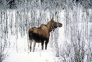 Matanuska Area, Alaska, U.S.A, January 1989. A sudden cold wave struck Alaska resulting to the temperature falling under 50 degrees Centigrade (58 degrees Fahrenheit). Mooses in the wild.