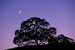 Crescent Moon in evening light over oak tree on Palassou Ridge, Santa Clara County, California