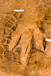 Dinosaur tracks at Dinosaur Discovery site, Johnson Farm, St. George, Utah, UT, negative impression track of dinosaur, exhibit, fossil, fossilized, Southwest America, American Southwest, US, United States, Image ut393-17725, Photo copyright: Lee Foster, www.fostertravel.com, lee@fostertravel.com, 510-549-2202