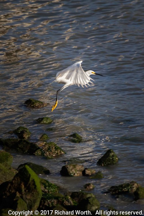 A Snowy egret lifts off from the rocky shore at San Francisco Bay.  Vertical perspective, limited copy space