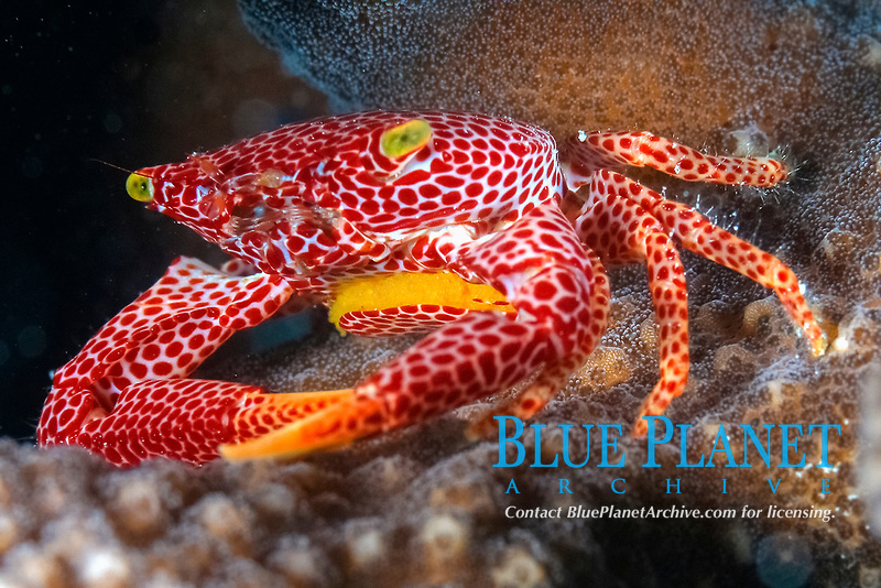 red-spotted guard crab, Trapezia tigrina, with eggs, Christmas Island, Republic of Kiribati ( Central Pacific Ocean )