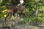 Newborn moose calf. Yellowstone National Park, Wyoming.