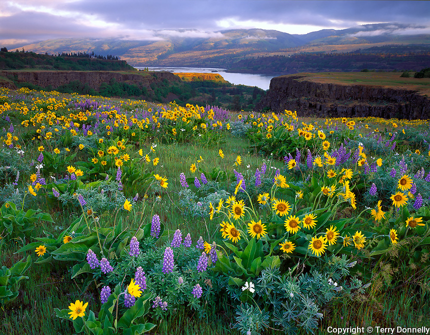 Columbia Gorge National Scenic Area, OR<br /> Lupine and balsam root on McCall Point meadow above the  Columbia River, Tom McCall Nature Preserve at Rowena Crest