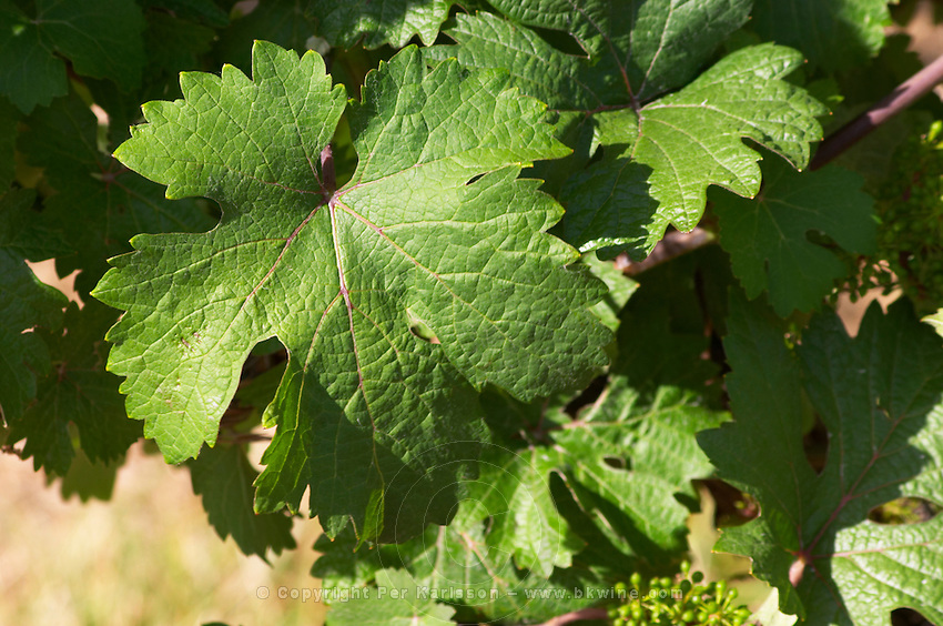 Vine leaf. Chenin Blanc. Agricultural Research Institute (INRA, Institut Nationale de Recherche Agricole) in Angers (Beaucouze), Loire, France