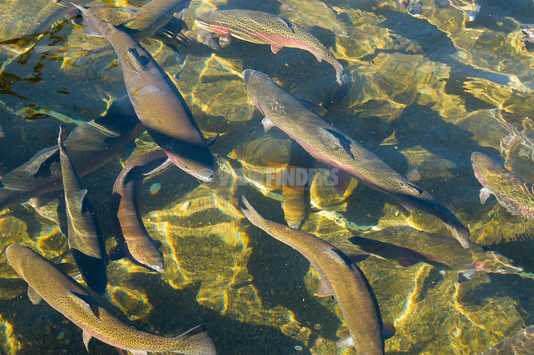 Bonneville Hatchery Rainbow Trout, Oregon