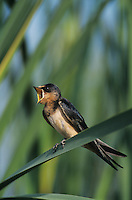 Barn Swallow, Hirundo rustica,young on cattail, Lake Corpus Christi, Texas, USA