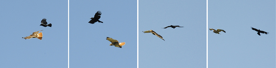 Raven escorts a Red Tailed Hawk out of the immediate area.  9:18 a.m.