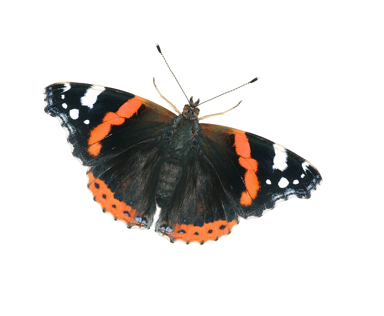 Red Admiral Vanessa atalanta Wingspan 60mm. An active, fast-flying butterfly that is also fond of basking in the sun. Adult has marbled dark-grey underwings and black upperwings with red bands and white spots. Commonest in July–August, but also seen in many other months. Larva is spiny and brown with yellow markings; feeds on Common Nettle, hidden inside 'tent' of woven-together leaves. Mainly a summer migrant from southern Europe, but adults hibernate in small numbers and emerge on sunny days in early spring.