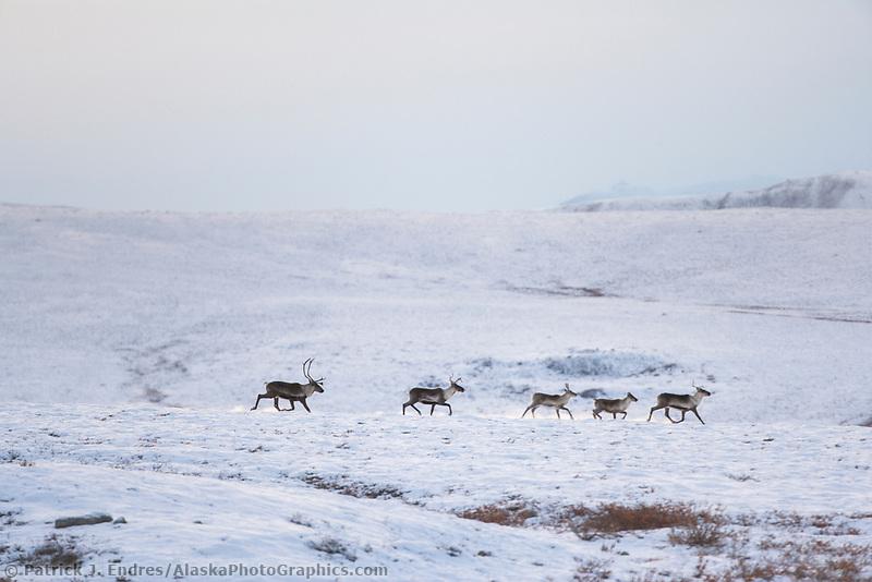 Barren ground caribou, Brooks Range, Arctic, Alaska