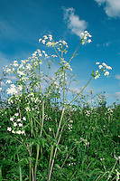 COW PARSLEY Anthriscus sylvestris (Apiaceae) Height to 1m<br /> Downy, herbaceous perennial with hollow, unspotted stems. Found in meadows and woodland margins, and on verges. FLOWERS are white and borne in umbels up to 6cm across; bracts absent (Apr-Jun). FRUITS are elongate and ridged. LEAVES are 2- to 3-pinnate, only slightly hairy and fresh green. STATUS-Widespread and common.