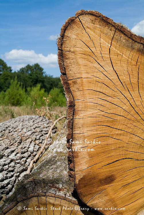 Wood grain from a log, Landes Forest, Mano, Aquitane, France.