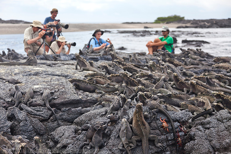 Tourists photograph the Marine Iguana, Punto Espanosa, Fernandina Island, Galapagos Islands, Ecuador