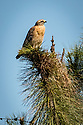 April 6, 2017 / Jupiter Florida Bird Photography Trip. / Red Shouldered Hawk / Various wildlife areas. / Photo by Bob Laramie