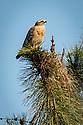 April 6, 2017 / Jupiter Florida Bird Photography Trip. / Red Shouldered Hawk / Various wildlife areas. / Photo by Bob Laramie