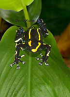 1023-07ss  Dendrobates tinctorius ñ Dyeing Poison Arrow Frog ñ Tincs Dart Frog © David Kuhn/Dwight Kuhn Photography