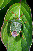 Grüne Stinkwanze, Palomena prasina, common green shield bug, stink bug, Baumwanzen, Pentatomidae, stink bugs