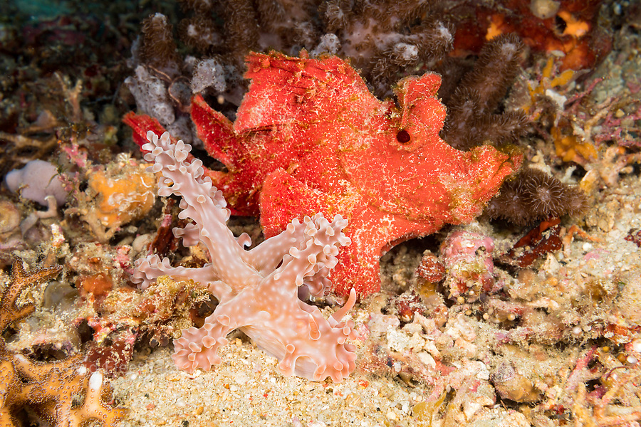 A red paddle-flap scorpionfish, Rhinopias eschmeyeri, keeps an eye on this large nudibranch, Miamira alleni, while it passes by, Philippines.