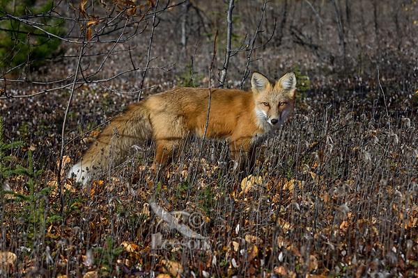 Red Fox (Vulpes vulpes) in the Liard River Valley near the Yukon/British Columbia border.  Sept.