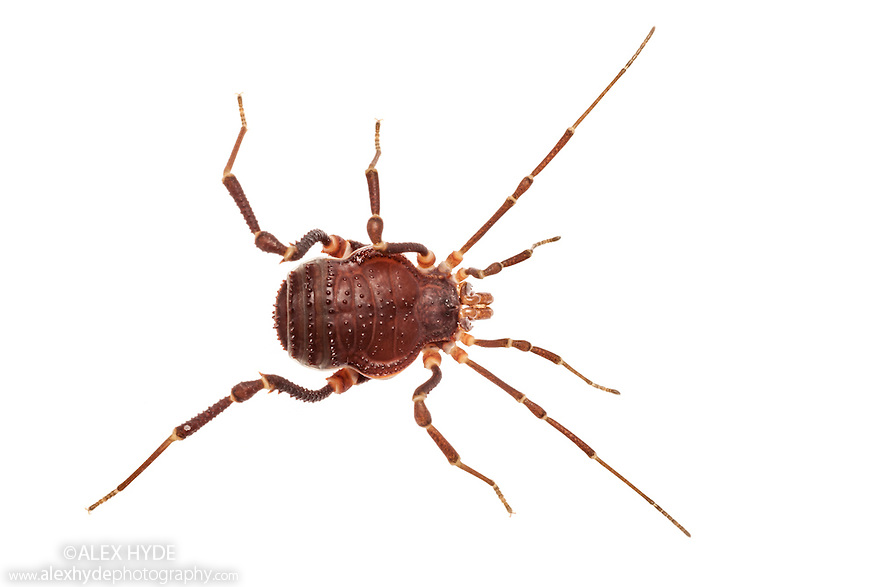Harvestman {Metagyndes innata} photographed on a white background. Captive, originating from Chile.