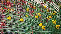 Eschscholzia californica California poppies flowering  among foliage of Dasylyrion,Schaff garden