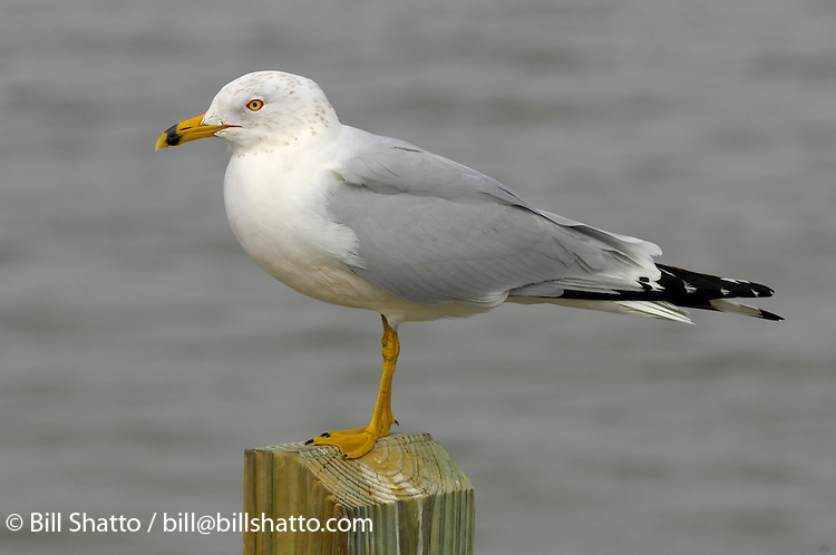 Gull on a piling.