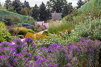 O'Fallon Perennial Walk featuring fall flowering asters in the double borders and Juniper hedges; Denver Botanic Garden