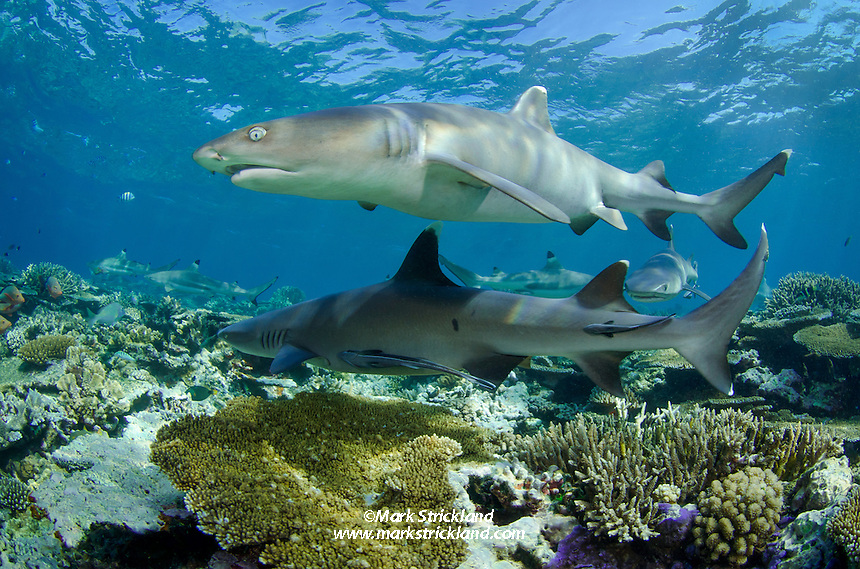 A pair of Whitetip Reef Sharks, Triaenodon obesus, patrol over a shallow reef. Shark Reef, Beqa Lagoon, Viti Levu, Fiji, Pacific Ocean