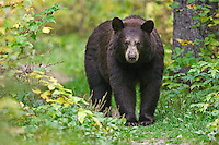 Female Black Bear walking on a trail