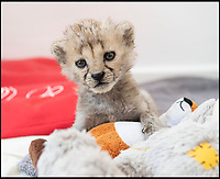 BNPS.co.uk (01202 558833)<br /> Pic: PhilYeomans/BNPS<br /> <br /> Miracle Grow - Xena the abandoned Cheetah cub is thriving after being hand reared by her keepers at Longleat Safari Park in Wiltshire.<br /> <br /> This adorable cheetah cub is being hand reared by her keeper at a British safari park after she was abandoned by her mother.<br /> <br /> The seven week old female cub, nicknamed Xena after the warrior princess to mark her battling qualities, was just 10 days old when she was discovered cold, weak and on her own.<br /> <br /> Now, after failed attempts to reunite the mother and daughter, the keepers at Longleat Safari Park in Wiltshire are rearing Xena by hand, bottle feeding her every four hours day and night.
