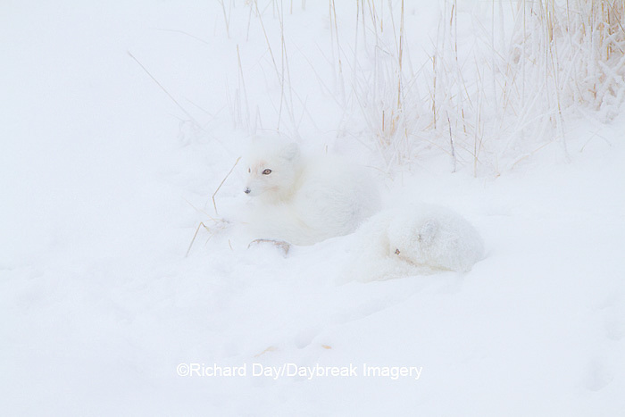 01863-01401 Two Arctic Foxes (Alopex lagopus) in snow Chuchill Wildlife Mangaement Area, Churchill, MB Canada