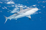 Gardens of the Queen, Cuba; a Caribbean Reef Shark swimming just below the surface in blue water