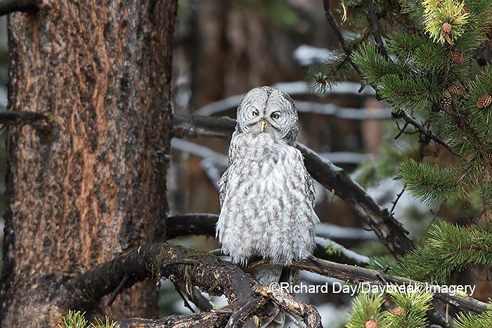 01128-00207 Great Gray Owl (Strix nebulosa) Yellowstone National Park, WY