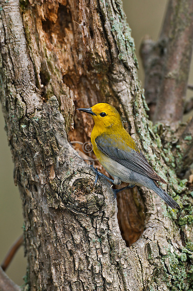 Prothonotary Warbler (Protonotaria citrea) male in spring. The only warbler in eastern North America that builds its nest in tree cavities, its breeding range includes much of eastern USA north to extreme southwestern Ontario, Canada, where it has been classified as endangered.