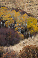 Aspen Trees in Golden Yellow Autumn Fall Colors, Colorado, USA.
