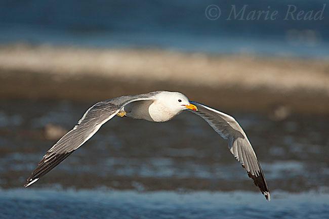 California Gull (Larus californicus), in flight, Mono Lake, California, USA