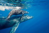 humpback whale, Megaptera novaeangliae, mother and calf, Maui, Hawaii, USA, Pacific Ocean