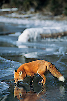 Red fox (Vulpes vulpes) on frozen lake.
