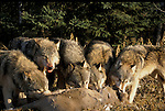 Timber or Grey Wolf, Canis lupus, Minnesota, USA, wolf pack on kill showing behaviour, feeding, eating, predation.USA....